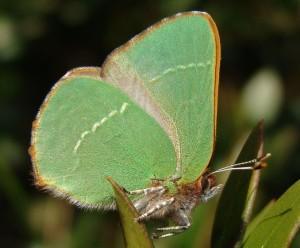 Mariposa cejirrubia. (Foto: José Antonio Ríos Bosquet).