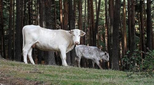 Vacas pastando en la Sierra de Guadarrama.
