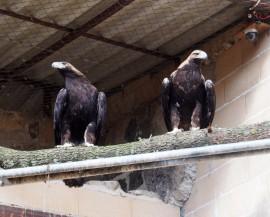Pareja de águilas imperiales cedida por la Junta de Andalucía a GREFA para la cría en cautividad. Foto: GREFA.