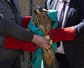 El joven águila imperial no puede ser reintroducido en su hábitat. Foto: CAM.