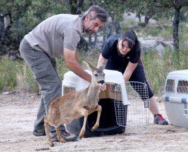 Liberación de un corzo por sus padrino en GREFA. Foto: GREFA.
