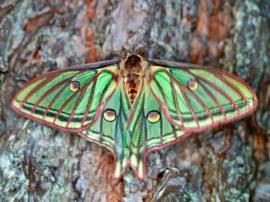 Mariposa Isabelina (Graellsia isabelae), una de las joyas de la fauna presente en la Sierra de Guadarrama. Foto: Miguel Varona.