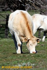 El ganado vacuno es frecuente e importante en el ecosistema.