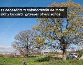 es necesaria la colaboración de todos para localizar grandes olmos sanos. Foto: Life+ Olmos Vivos.