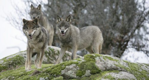 Canis Lupus Signatus. Foto: Juan José González Vega.