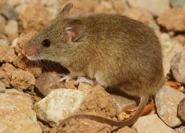 El-ratón-moruno-detector-de-los-contaminantes-en-Doñana