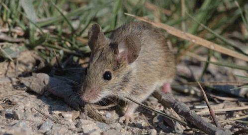 Ratón moruno. Foto: biodiversitat.cat.