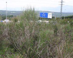 Un-arbusto-invasor-amenaza-la-diversidad-de-la-Cuenca-Alta-del-Manzanares_image_380