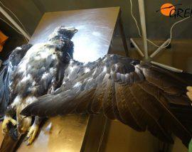 El águila imperial electrocutada en Navalagamella (Madrid), en la sala de necropsias de GREFA.