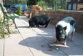 Bild-Minischweine