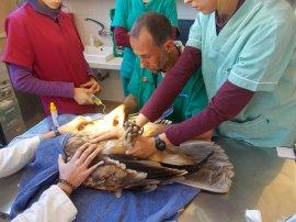 Un águila imperial juvenil es atendida en la enfermería del Hospital de Fauna Salvaje de GREFA. Foto: GREFA.