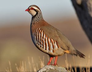 Ejemplar de perdiz, una de las aves más comunmente utilizada en las cacerías intensivas.