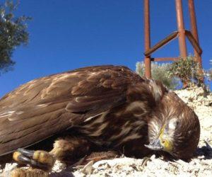 Rapaz muerta a los pies de un tendido eléctrico. Foto: SEO/Birdlife.