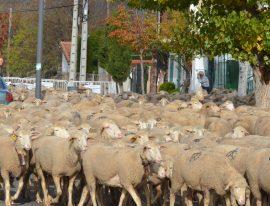 Paso del ganado trashumante por el municipio de Guadarrama. (Foto: Ayto. Guadarrama).