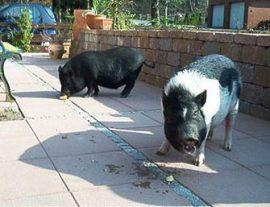 Dos cerdos vietnamitas en un ambiente doméstico.