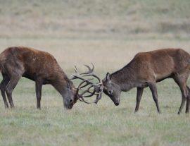 Dos machos en plena lucha. Foto: Daniel Alfonso de Lucas.