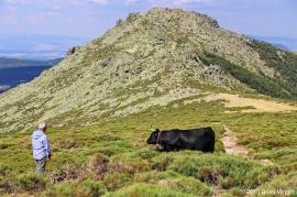 Vaca de la raza avileña pastrando en las cimas del Guadarrama. Foto: Julio Vías.