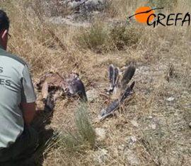 Un Agente Forestal de la Comunidad de Madrid recoge los restos de la joven águila imperial electrocutada. Foto:112.