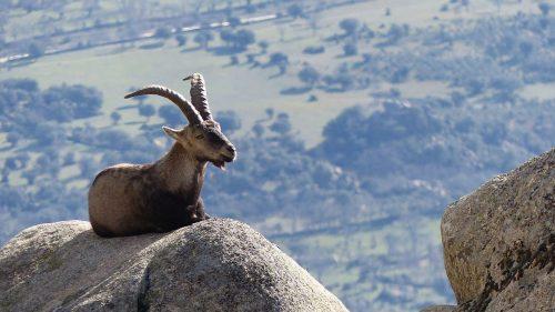 Macho de cabra montés en La Pedriza. (Foto: Benjamín Núñez González).