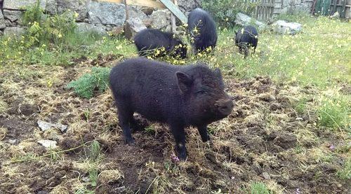 """La """"Piggy-Family""""."""