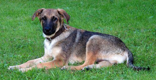 Cachorro de perro. Foto: Aka.