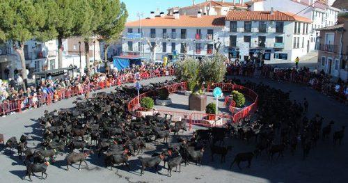 Rebaño de cabras en la plaza de Campo Real. Foto: Ayto. Campo Real.