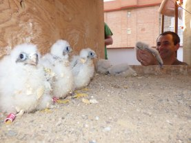 Pollos de cernícalo primilla reintroducidos en un nidal artificial. Foto: GREFA.