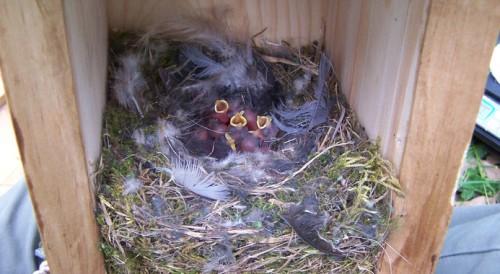 Polluelos de herrerillo común de dos días de edad en el interior del nido. Foto: Carolina Remacha.
