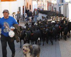 Pastor guiando el rebaño de cabras por las calles de Campo Real. Foto: Ayto. Campo Real.