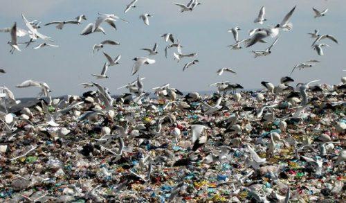 Aves alimentándose en el vertedero de Colmenar Viejo. (Foto: IU Colmenar Viejo).