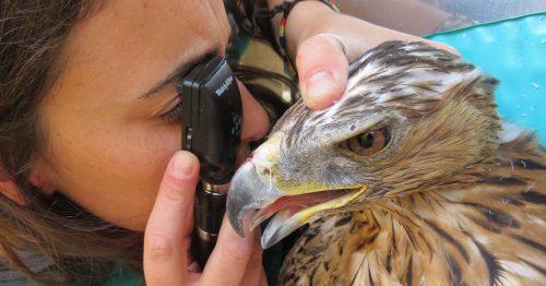 Revisión oftalmológica de un águila perdicera. Foto: GREFA.