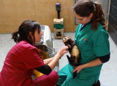 Un turón es atendido por dos veterinarias. Foto: GREFA.