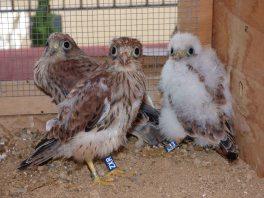 Pollos de cernícalo primilla criados en cautividad y reintroducidos por GREFA. Foto: GREFA.