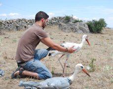 Liberación de una cigüeña blanca por su padrino. Foto: GREFA.
