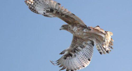 El águila de Bonelli 'Bélmez' a punto de posarse. Foto: Sergio de la Fuente.