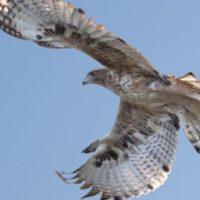 Un curso online (y gratuito) para salvar a la amenazada águila de Bonelli