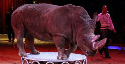 Rinocertonte en un espectáulo circense. Foto: Usien.