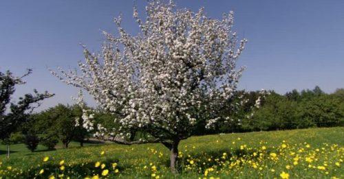 manzano-de-flor