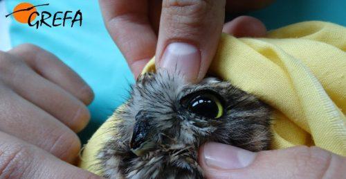 El mochuelo intervenido, durante una de las revisiones en el Hospital de Fauna de GREFA. Foto: GREFA.
