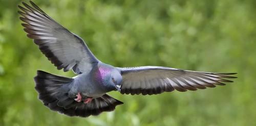Paloma zurita en vuelo.