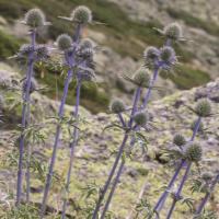 La flora del Parque Nacional de la Sierra de Guadarrama