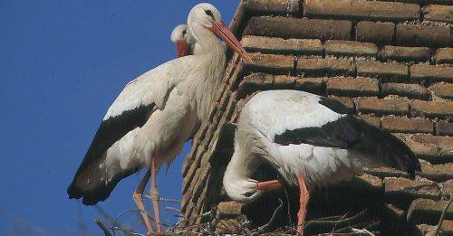 Cigüeñas blancas. Foto: ©SEO/BirdLife.