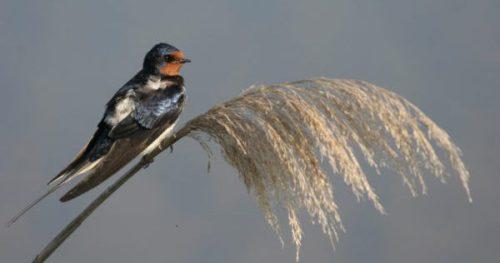 Golondrina común. ©Pep Arcos-SEO/BirdLife
