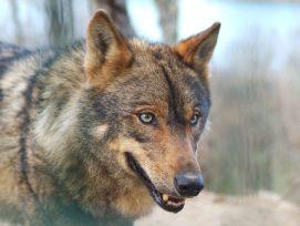 Lobo ibérico.