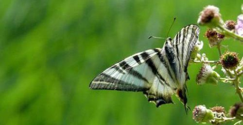 Mariposa chupa leche o podalirio (Iphiclides podalirius).