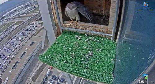 Imagen tomada con la webcam instalada en el nido de los halcones.