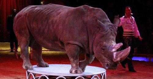 Un rinoceronte durante un espectáculo circense.