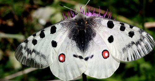 Mariposa apolo. Foto: Roger Culos.