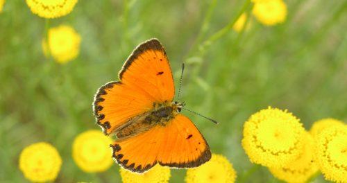 Lycaena virgaureae, una de las mariposas estuadiadas.
