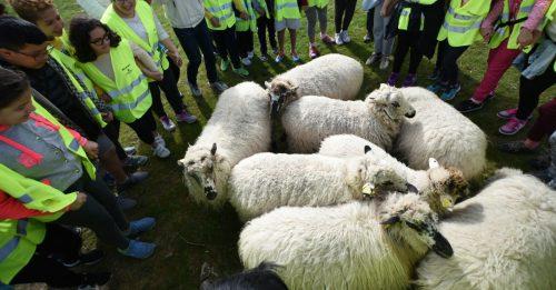 Ejemplares de oveja churra colmenareña. Foto: Ayto. Colmenar Viejo.